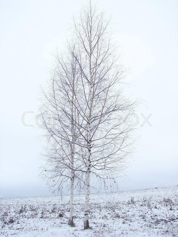 Image result for birch tree bare