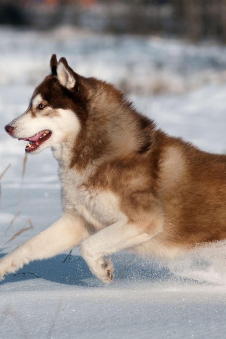 Siberian Husky Dog Grey And White Running In The Snow Meadow Stock