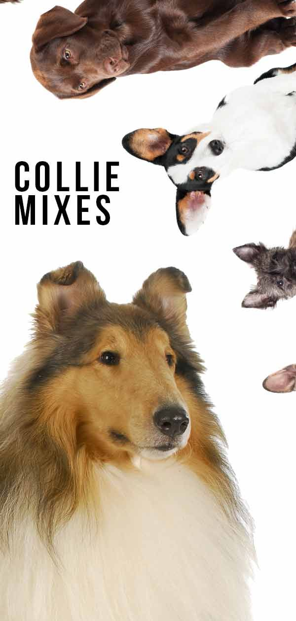 Collie Mixes Do You Know About All These Collie Cross Breeds