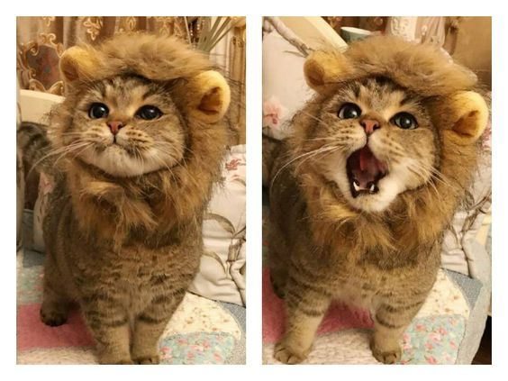 I want to get Jonesy a lion hat like this.
