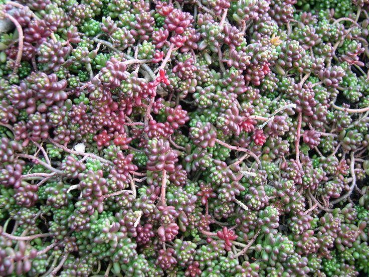 Sedum album 39 coral carpet 39 succulents seedums pinterest - Sedum album coral carpet ...