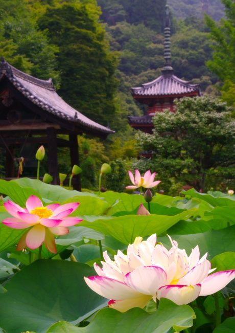 蓮の池 三室戸寺 京都 Lotus flowers at Mimuroto-ji temple in Kyoto, Japan