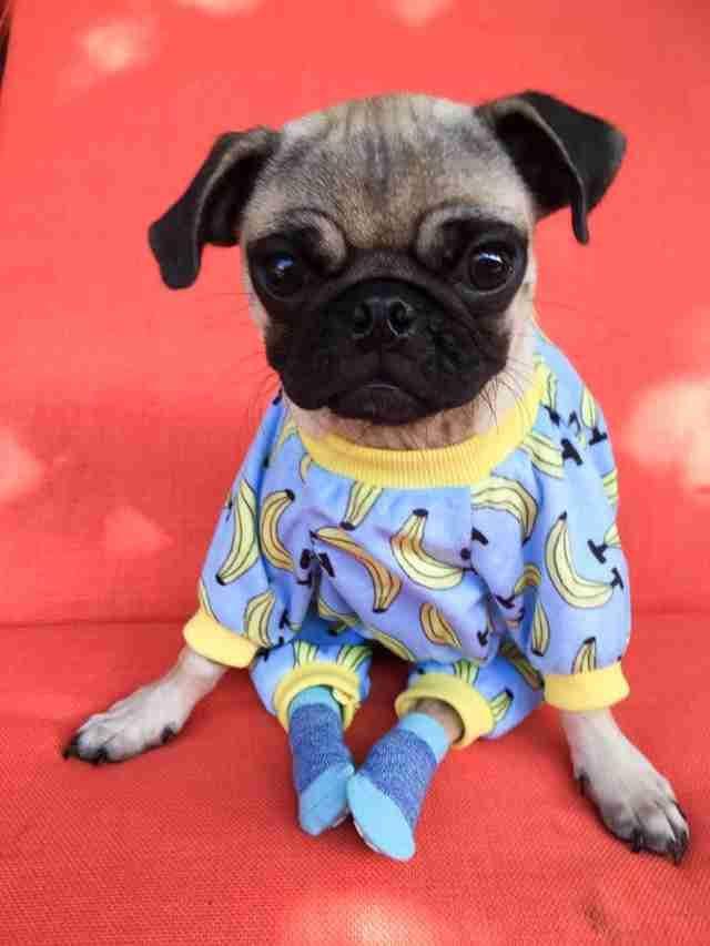Pug Wears Pajamas And Socks So He Ll Always Feel Safe When He