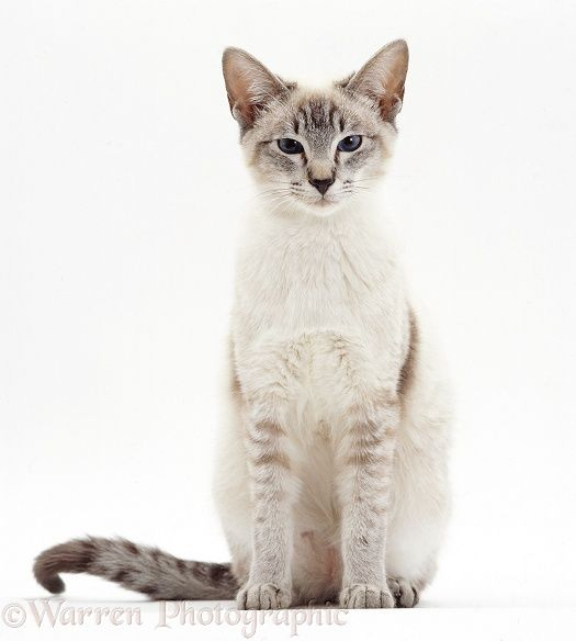 Lilac-point Siamese cat sitting
