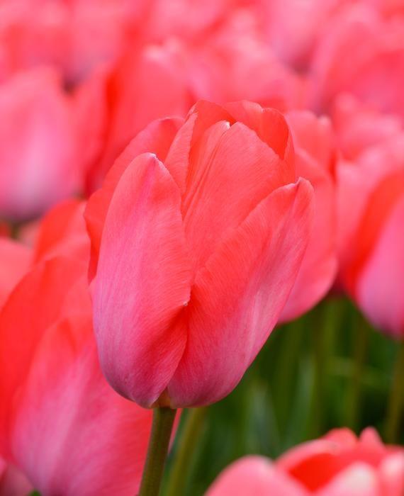 Tulip Van Eijk Tulips Flowers Rose
