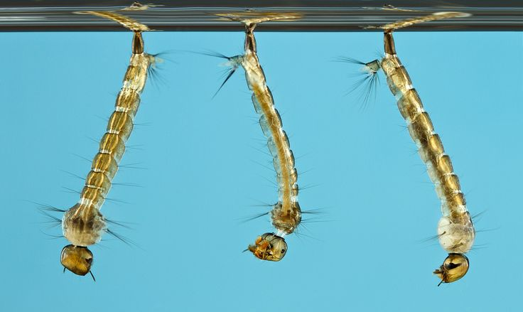 how to identify a larvae aedes mosquito - Buscar con Google