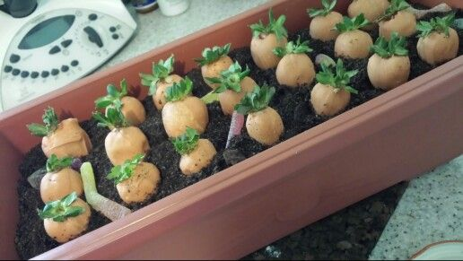 Easter carrot patch. Layers of cake, custard and crushed oreos. Strawberries dipped in white chocolate dyed orange with gel dyes (cheap ones will seize your choc) and topped off with a few worms all in a plastic 'terracotta' garden pot.