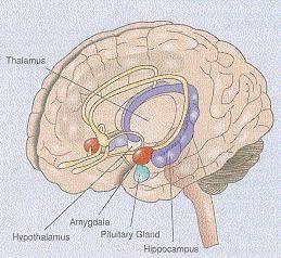 Het limbisch systeem : thalamus, hypothalamus, amygdala en hippocampus