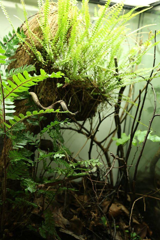Ken howell worldwide pygmy chameleon keepers 1 - Begonia argentata ...