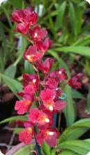 Howeara Lava Burst 'Red Bug' - Orchideen der Schwerter Orchideenzucht