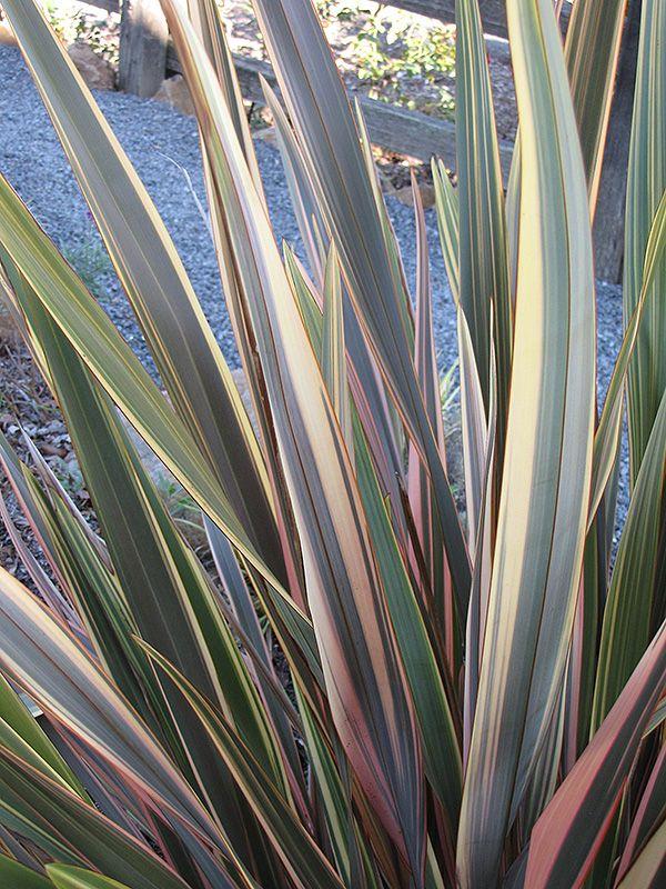 Rainbow Sunrise New Zealand Flax (Phormium tenax 'Rainbow Sunrise') at Plant…