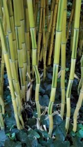 Phyllostachys Aureosulcata Spectabilis also known as Yellow Groove Bamboo for sale online with UK delivery.