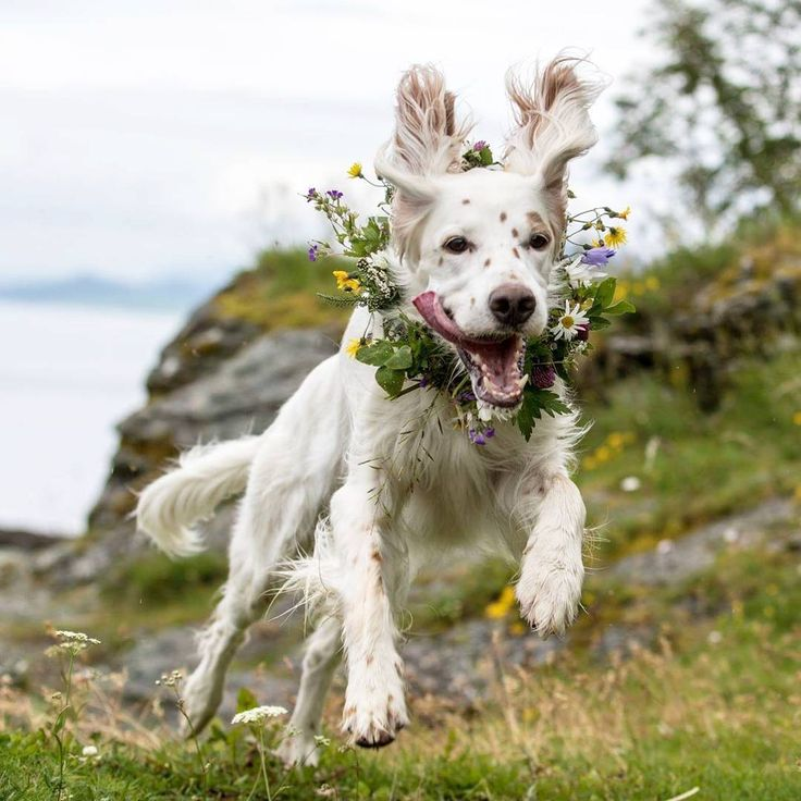 Happy English setter Mac running!