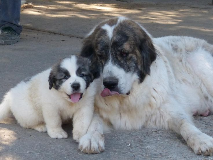 pyrenean mastiffs-next dog for sure! 180 pounds, live 12-14 years, very similar to great pyrenees.