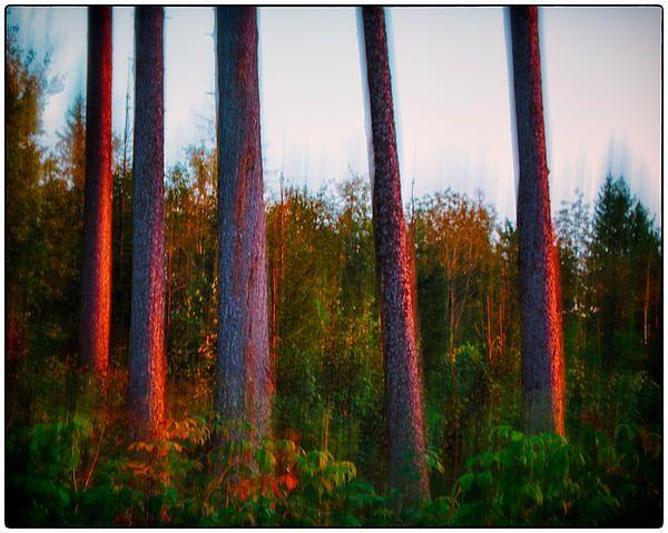 Pine trees - by Attila Simon