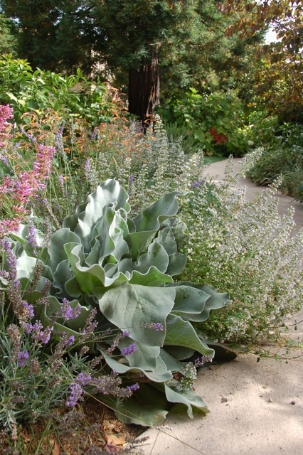 An edible cutting garden including agastache, calamintha, lavender and pollinator attracting mullein from Star Apple. Modern Potager (ornamental vegetable/kitchen garden)