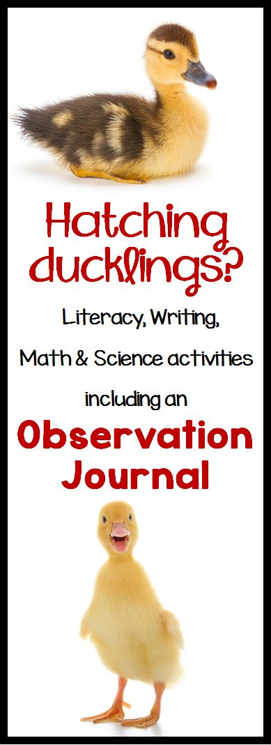 Duck Life Cycle pack - perfect for hatching eggs in the classroom! Math, literacy, science and writing activities to use in conjunction with incubating eggs, or even just to teach the life cycle of a duck!