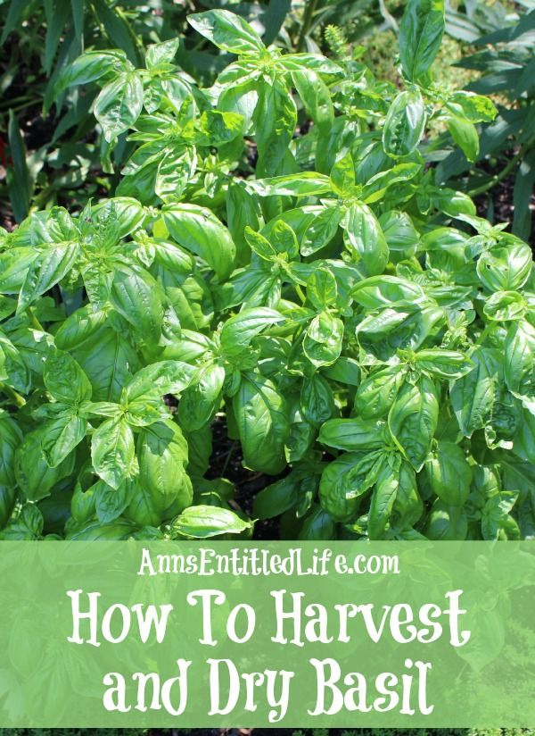 How To Harvest and Dry Basil;  Basil is a great herb to grow that can be harvested throughout the summer growing season. Here are step by step instructions to harvesting, and drying, basil. http://www.annsentitledlife.com/category/how-does-your-garden-grow/