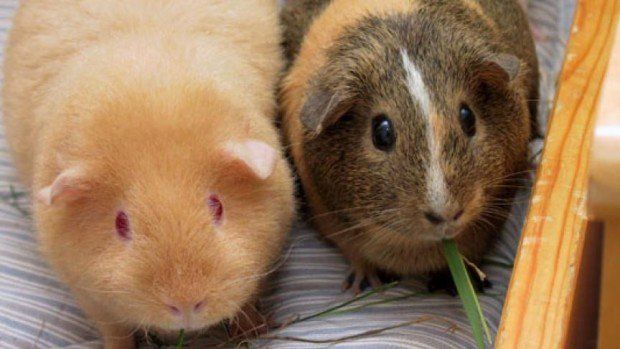 In Switzerland It Is Illegal To Own Just One Guinea Pig. A service even exists that provides a guinea pig companion to keep a lonely guinea pig company if its partner dies. (butterbin.com)