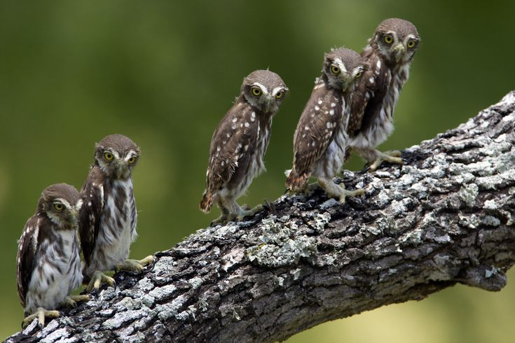 Ferruginous Pygmy Owl All I Care About is Owl Shirt http://teespring.com/aicaowls