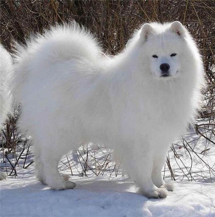 Породы собак белые пушистые с картинками