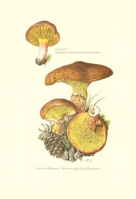 1963 Gilled Bolete Phylloporus rhodoxanthus by CabinetOfTreasures