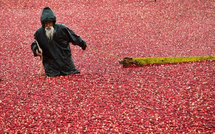 Cranberry harvest in Richmond, British Columbia, Canada. The fields where they are grown are flooded so that the berries float allowing mechanical harvesting and boom gathering.  Picture: Canadian Press / Rex Features