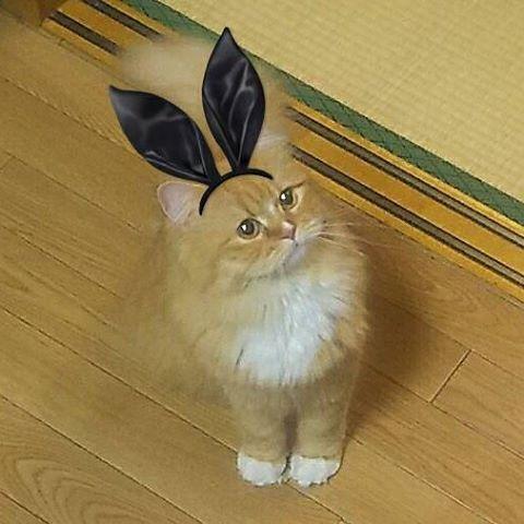 おはようニャン💓 #ラガマフィン #ragamuffin #もふもふ #猫 #にゃんこ #cat #ねこ #ねこ部 #猫好きさんと繋がりたい #猫好き #猫バカ #愛猫