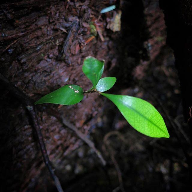 【bokunara】さんのInstagramをピンしています。 《森の中。 健気に芽を出す 森の子ども。 春日山原始林でいま、 一番大切なつないでいくべき次の世代。 春日山の現状も知ってもらいたい事のひとつ。  11/26(土)神山をきく世界遺産春日山原始林さんぽ 彩編 まだまだ参加者募集中です。 ■お申し込み方法 奈良市観光協会の申し込みページよりお願いします。 http://narashikanko.or.jp/genshirin/  #エコツアー #トレッキング  #自然 #森 #色 #五感で感じる #秋 #キノコ #世界遺産 #春日山原始林 #奈良 #癒し #オーガニック #日本の伝統色 #紅葉》