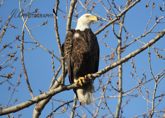 Female Bald Eagle    Posted by: john borg // Today    Port Colborne, Ontario // Shot: April 4, 2013    1 Views    ''Isn't she lovely'' waiting for a meal !