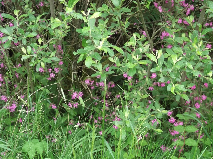 We've been looking at flowers in hedgerows & meadows as they come out, all a little late this month. Ever-present red campion in June..