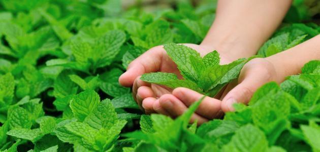 زراعة النعناع في الأصيص الوقت المناسب لقطف النعناع نصائح أخرى عند زراعة النعناع فيديو زر Peppermint Tea Benefits Peppermint Tea Peppermint Oil For Skin