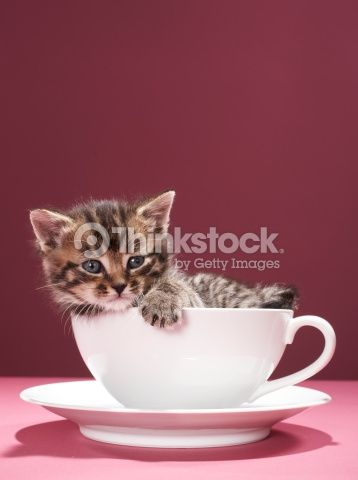 Kitten in cup and saucer : Stock Photo