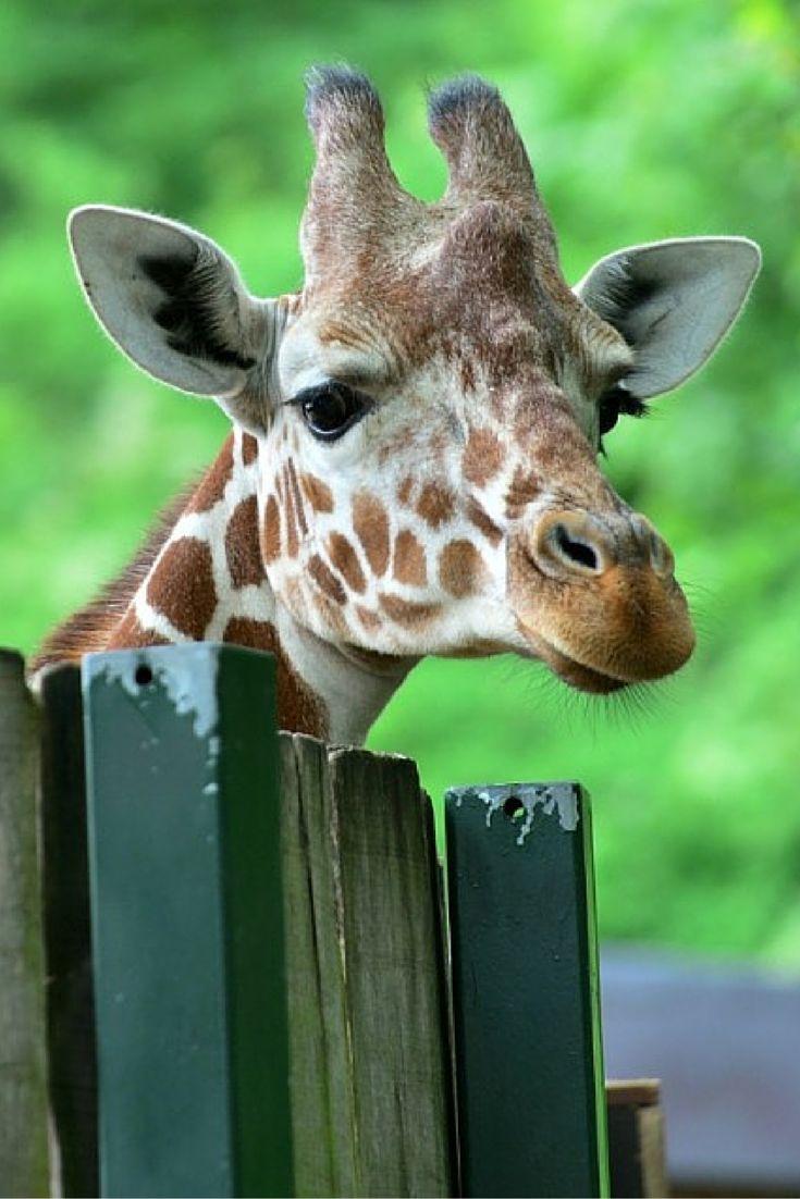 Erfurt, Niemcy. Żyrafa wyciąga szyję, by wyjrzeć zza płotu miejskiego zoo. http://www.tvn24.pl/zdjecia/zdjecie-dnia,31565,lista.html