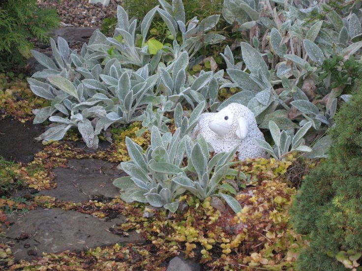 Lamb among the lambs ears. They became rather overwhelming so no longer there...