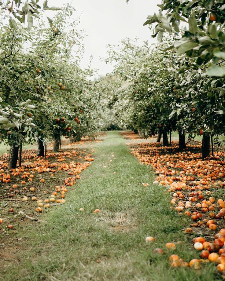 Apple Orchard Worcester, England Orchard garden, Apple