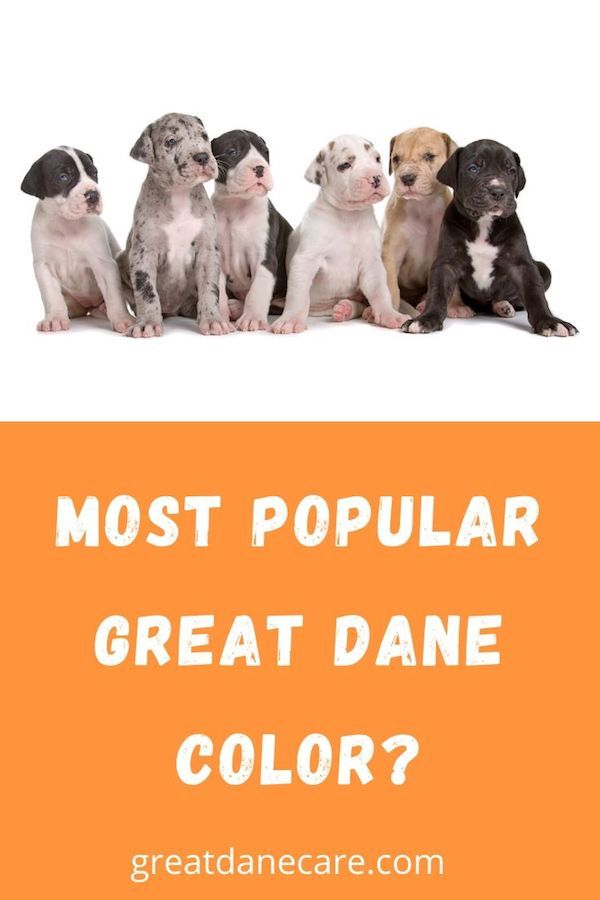 Great Danes Are One Of The World S Most Recognizable Dog Breeds