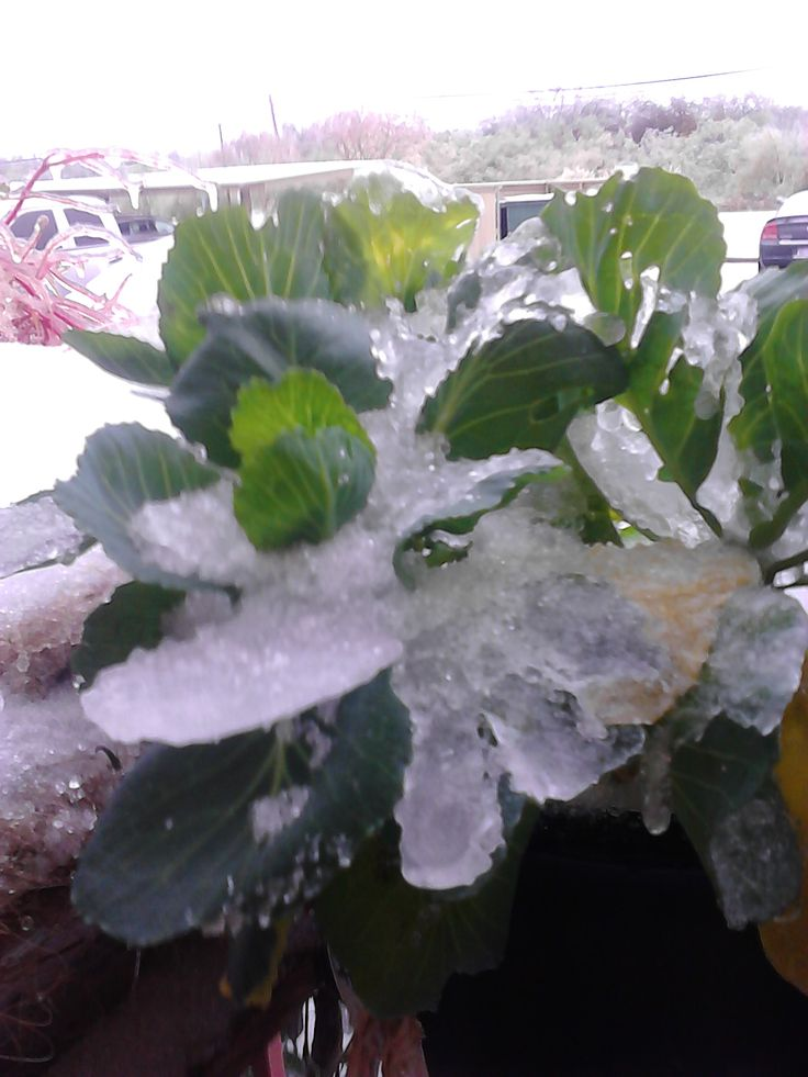 Ice storm 12/05/2013 - cabbage plant covered in ice