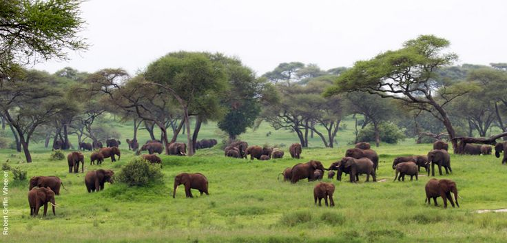 Our Journey to the Serengeti Safari is focused on getting you ready to appreciate the magnificence of the Serengeti migration.  You make your way from Arusha through three of Tanzania's best game parks:  Tarangire National Park, Ngorongoro Crater, and the famous Serengeti.