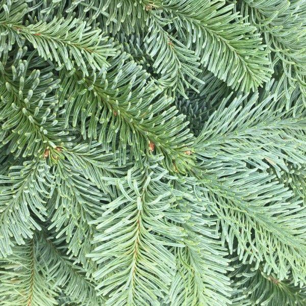 Pflanzen-Kölle: Kölle's Bio Nobilis Handbund  Handbunde mit Nobilistanne aus rein ökologischem Landbau. Lange haltbar. Allergikergeeignet, da nur mit rein natürlichen Inhaltsstoffen.