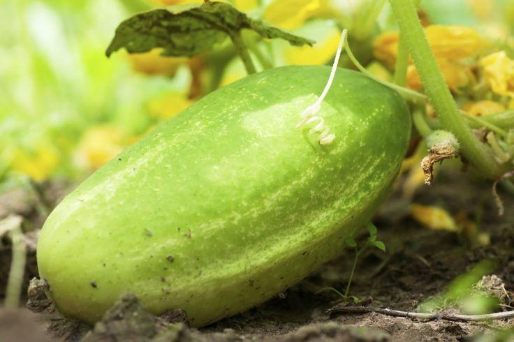 Saving cucumber seeds                                                                                                                                                      More