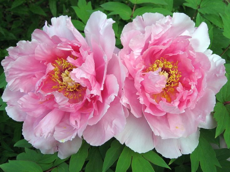 Tree peony flowers - Love the softly frilled petals and the more open look of these peonies. And even though I'm not into pink like some, this is a gorgeous pink, deeper in the centre and fading to pale on the outside of the petals.