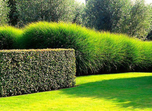 haie de carpinus betulus et massif de miscanthus sinensis 39 gracillimus 39 en t jardin. Black Bedroom Furniture Sets. Home Design Ideas