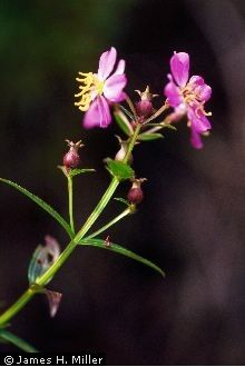 Image of Rhexia virginica