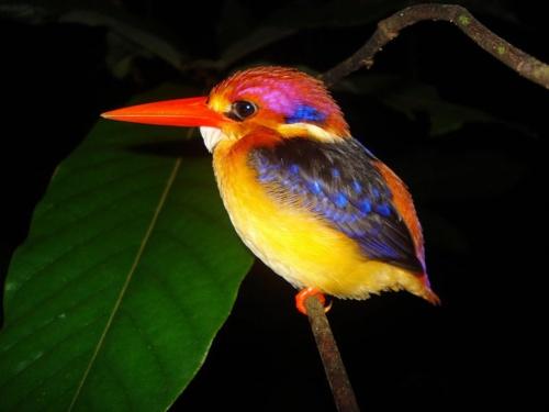 Oriental Dwarf Kingfisher.: Oriental Dwarfs, Little Birds, Dwarfs Kingfisher, Southeast Asia, Beautiful Birds, Colors Birds, Blackback Kingfisher, Animal, Feathers Friends