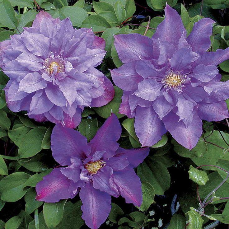 17 best images about flowers clematis on pinterest. Black Bedroom Furniture Sets. Home Design Ideas