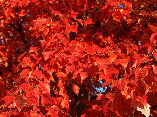 Red Maple (Acer rubrum) care and propagation information