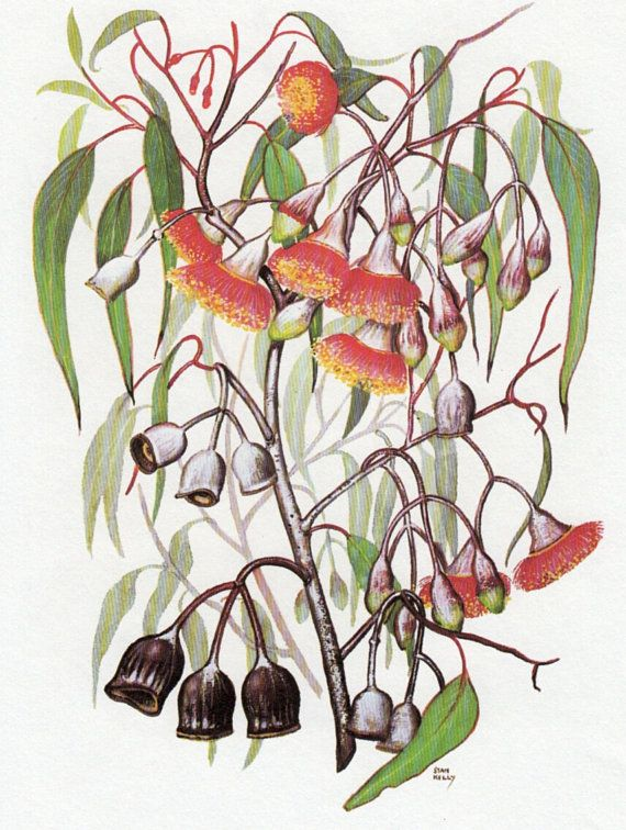 Vintage print AUSTRALIAN GUM TREE with Red Flowers, Botanical print