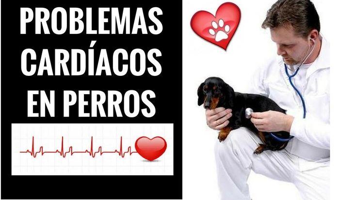 Problemas Cardiacos en Perros - Sintomas y Señales de Problemas en el Co...