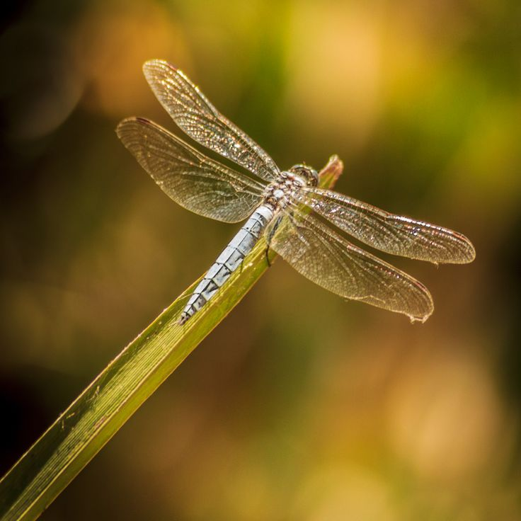 A Good Thing Happened tvoom: Dragonfly (With images ...